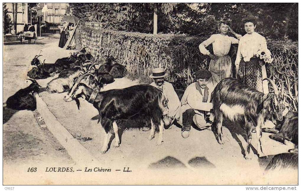 Traite manuelle des chèvres