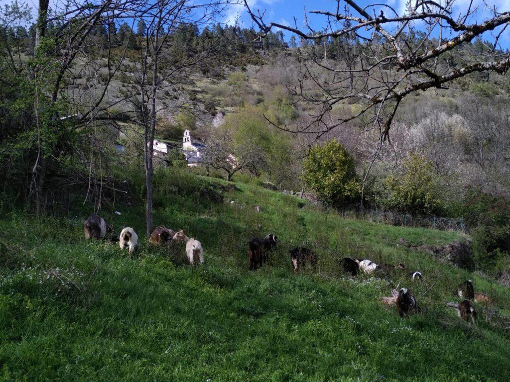 nettoyage des abors du village par les chèvres